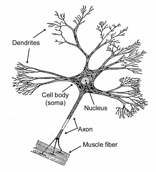 Neurons In Chapter 02 Human Nervous System